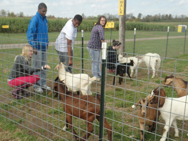 people feeding goats